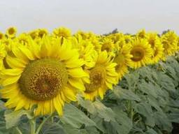 Семена гибрида подсолнечника — Одиссей