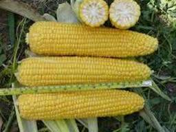 Семена гибридов кукурузы венгерской селекции