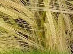 Семена пшеницы Лист 25 Элита