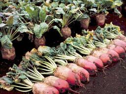 Семена кормовой свеклы оптом 60 грн/кг 100кг (Польша)