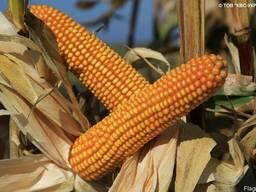 Семена кукурузы Богатырь от производителя КВС (KWS)