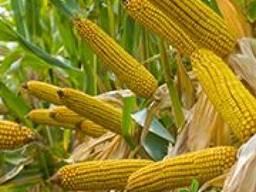 Семена кукурузы Бурштин