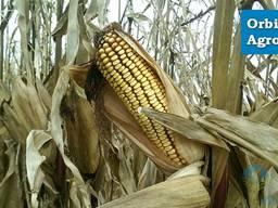 Семена кукурузы Деметра