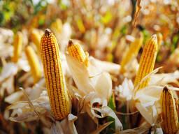 Семена кукурузы ДН Днипро (ФАО 300)