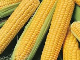 Семена кукурузы ДН Галатея (ФАО: 260) Подробнее: