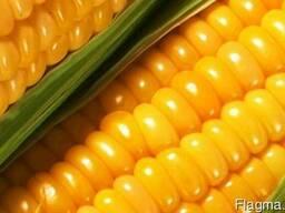 Семена кукурузы Дніпровскій 257 СВ от производителя