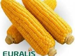 Семена кукурузы Euralis ЕС Астероид
