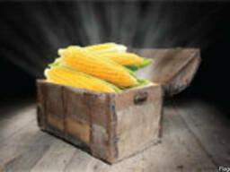 Семена кукурузы Фалькон