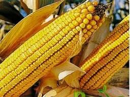 Семена кукурузы Фруктис под заказ