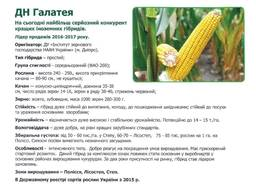 Семена кукурузы галатея фао 260 насіння кукурудзи галатея пивиха