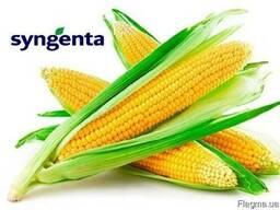 Семена кукурузы гибрида НК Кобальт ФАО 320 Сингента