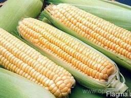 Семена Кукурузы, Хмельницкий, Днепровский 257СВ (скидки)