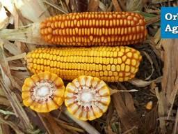 Семена кукурузы Хотин (Агровита)