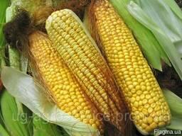 Семена кукурузы Лапери КС Кассад Сименс
