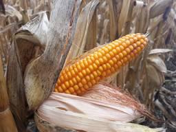 Семена кукурузы Мартиника