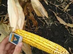 Гибрид кукурузы Монблан ФАО-320