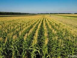 """Семена кукурузы """"Моника 350МВ"""""""