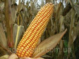 Семена кукурузы зубоподобной G-Host S 115 В34