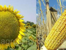 Семена подсолнечника Syngenta НК Брио