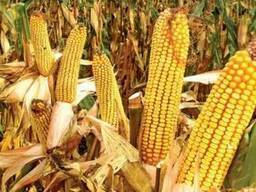 Семена кукурузы МТ 261 от производителя Дау Сидс (Dow Seeds)