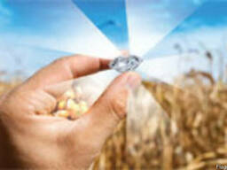 Семена кукурузы Окситан