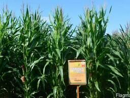 Семена кукурузы Оржиця 237 МВ. ФАО – 240