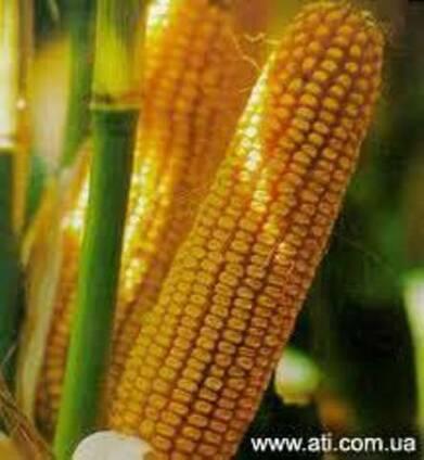 "Семена кукурузы ""Pioneer"" PR37Y12 ФАО 390, оригинал"