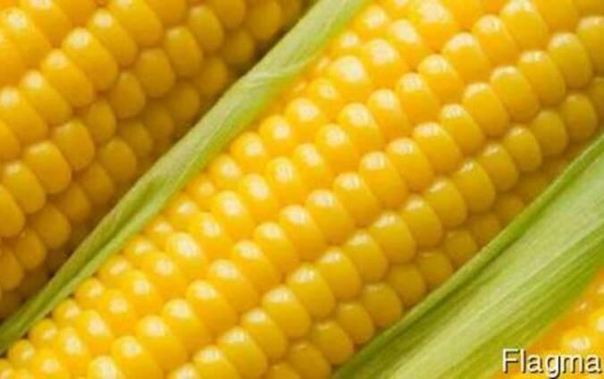Семена Кукурузы,Почаевский 190МВ, Кремень 200 СВ