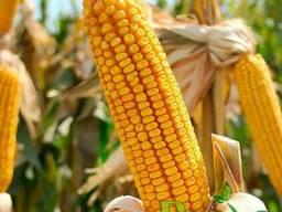 Семена кукурузы Подильский