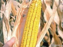 Семена Кукурузы,Подольский 274 СВ, Белозирский 295 СВ