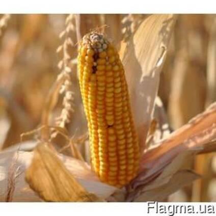 Семена Кукурузы, Полтава 270, Хмельницкий 280
