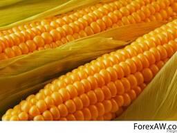Семена кукурузы РАМ 8153 гибрид ФАО 340