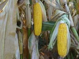 Семена кукурузы Рокс (ФАО 430) (Seed grain company)