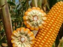 Семена кукурузы Розовский 310 МВ, Запорожский 333 МВ
