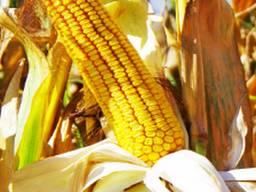 Акция!!! Семена кукурузы Тесла