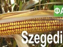 Семена кукурузы Венгерской селекции Сегеди 386 (ФАО 390)