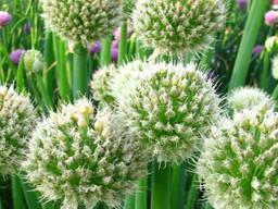 Семена лука чернушки Халцедон - фото 3