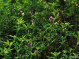 Семена люцерны сорт Надежда - фото 1