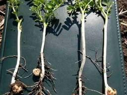 Продаем семена нута высокопродуктивных, крупноплодных сортов