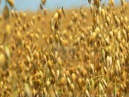 Семена Овес