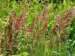 Семена овсяницы овечьей, красной, тростниковой - фото 3
