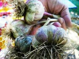 Семена озимого чеснока сорта Украинской селекции