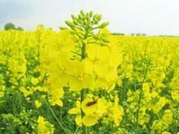 Семена озимого рапса ГКХ-0224