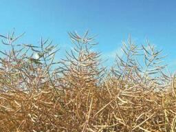 Семена озимого рапса ГКХ-2624
