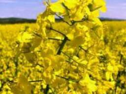 Семена канадского гибрида рапса Surrey
