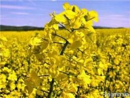 Семена озимого рапса Seed Grain Company (Канада)