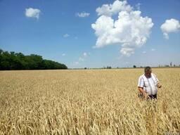 Семена озимой мягкой пшеницы Зимница