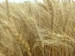 Семена озимой пшеницы Альбатрос Одесский
