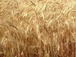 Семена озимой пшеницы-Благодарка Одесская, элита
