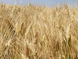 Семена озимой пшеницы Эпоха Одесская